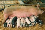 Содержание свиней видео – Домашние свиньи видео. Разведение и содержание.