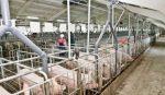 Свиноферма как бизнес рентабельность – Бизнес-план свинофермы — расчет затрат и прибыли