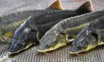 Корм для осетровых рыб своими руками рецепт – Домашняя мини-ферма для разведения осетра: создаем рентабельный бизнес